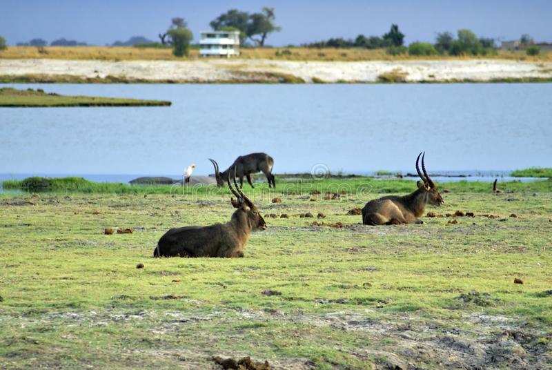 Waterbuck on the riverbank. Herd of waterbuck grazing on a riverbank in Chobe National Park, Botswana stock photography