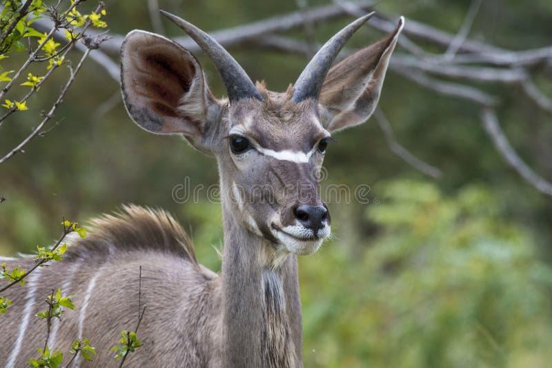 Waterbuck simple, ellipsiprymnus de Kobus faisant face à l'appareil-photo, avec de belles oreilles photo libre de droits