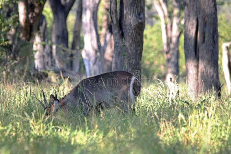 WATERBUCK SOM BETAR UNDER-TRÄD royaltyfri foto
