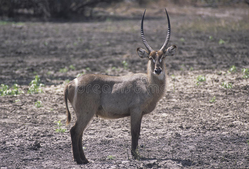 Waterbuck. A Waterbuck taken in the Selous game reserve royalty free stock photo