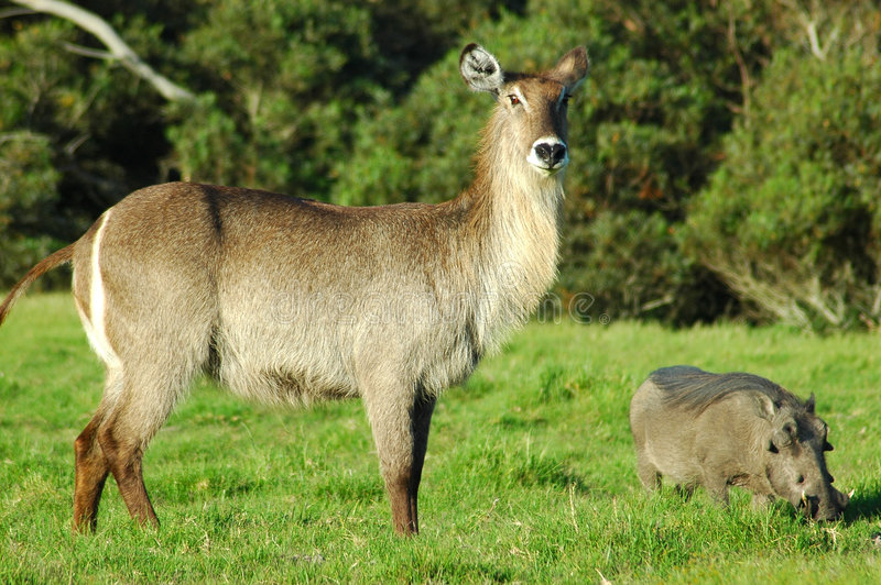 Download Waterbuck and warthog stock image. Image of bush, graze - 1601883