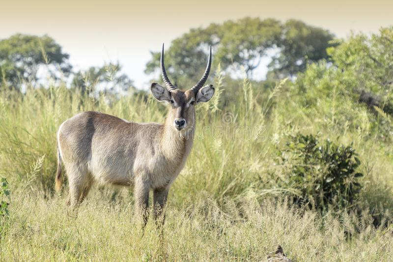 Waterbuck, welches die Kamera, stehend im Busch betrachtet lizenzfreie stockfotos