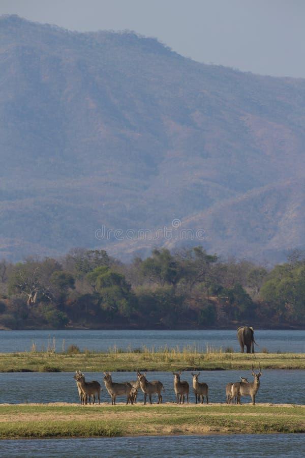 Waterbuck on the Zambezi river royalty free stock image