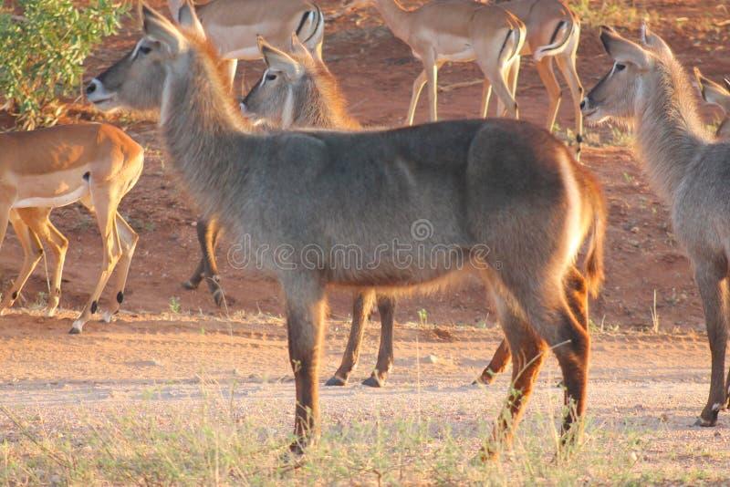 Waterbucks和飞羚在原野察觉了 图库摄影