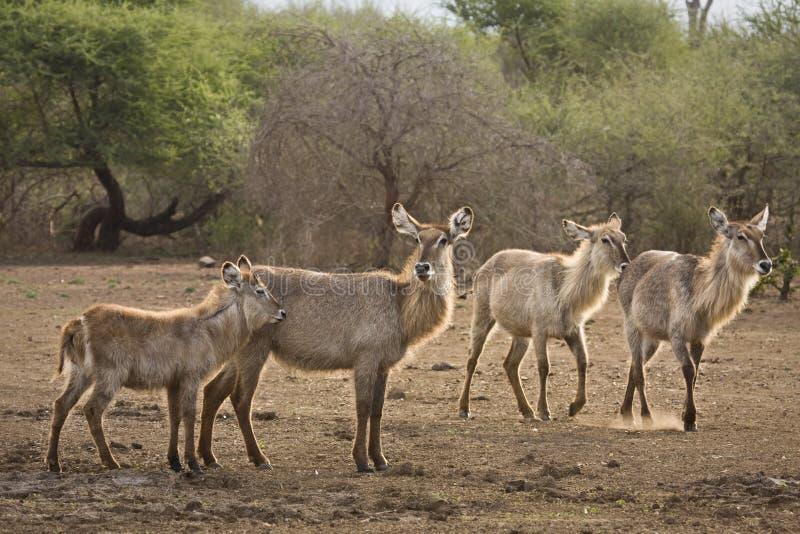 Waterbucks nella sponda del fiume, bushveld del kruger, parco nazionale di Kruger, SUDAFRICA fotografia stock libera da diritti