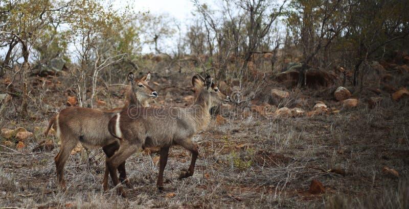 Waterbucks no bushland seco imagem de stock royalty free