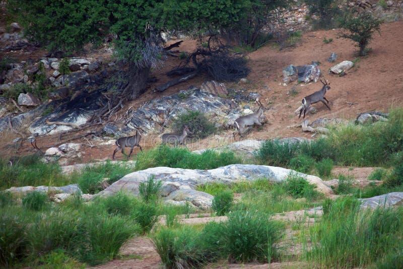 Waterbucks que corre a lo largo del río en la provincia del Limpopo fotografía de archivo