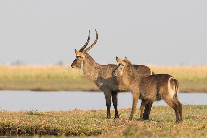 Waterbucks scanning river for predators. Before crossing stock images
