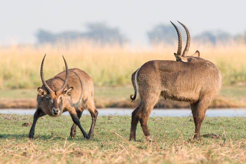 Waterbucks under brunsten royaltyfria bilder