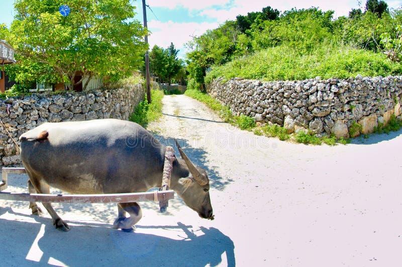 Waterbuffel stock foto's