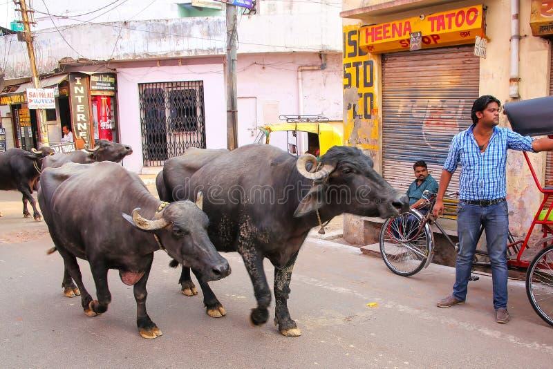 Waterbuffel die in de straat in Taj Ganj-buurt lopen van royalty-vrije stock afbeelding
