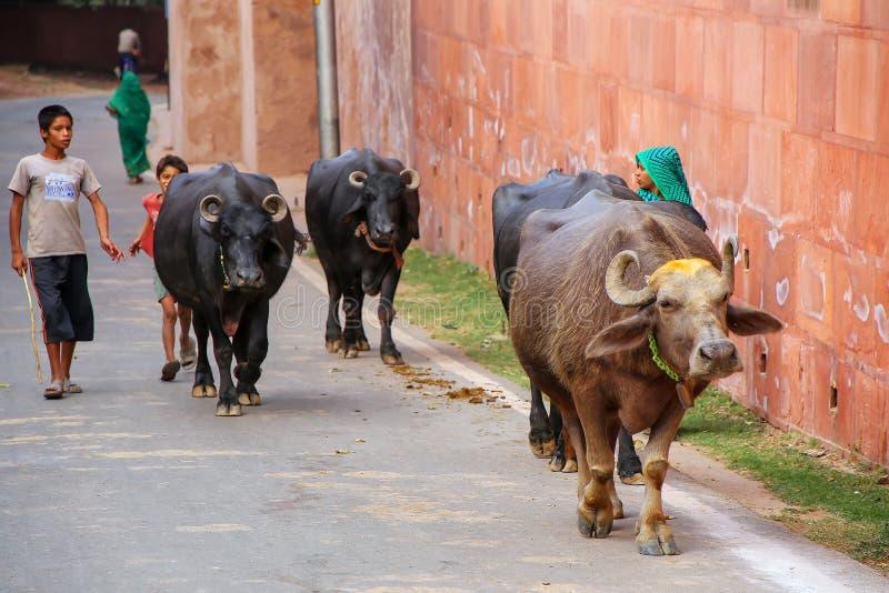 Waterbuffel die op de weg buiten Taj Mahal complexe I lopen stock foto's