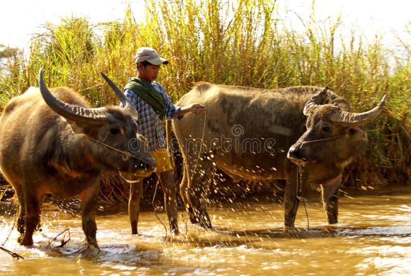 Waterbuffel in een rivier stock foto's