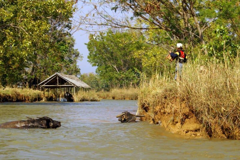 Waterbuffel in een rivier royalty-vrije stock foto's