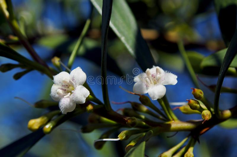 Waterbush, δειγμένο boobialla ή boobialla μαγγροβίων στοκ εικόνα