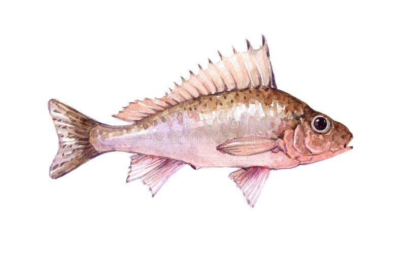 Watercolor ζώο ψαριών χοντροσκαλιδρών που απομονώνεται ενιαίο διανυσματική απεικόνιση
