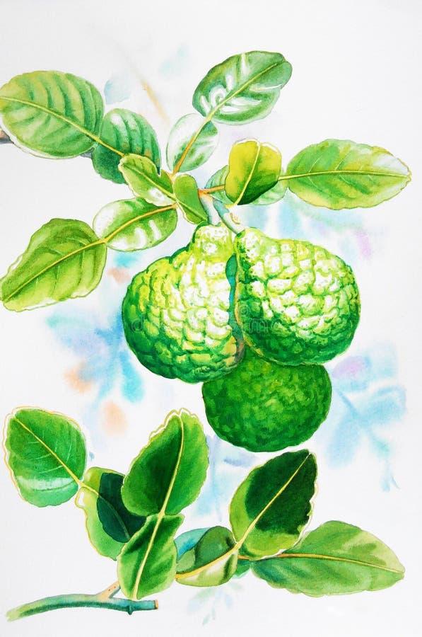 Watercolor που χρωματίζει το ρεαλιστικό χορτάρι του ασβέστη kaffir και των πράσινων φύλλων απεικόνιση αποθεμάτων