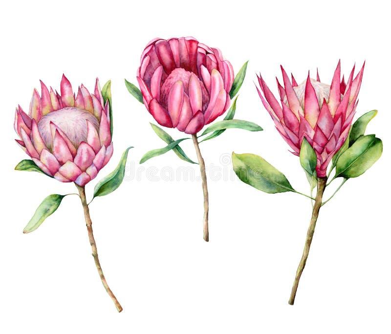 Watercolor τρία σύνολο protea Το χέρι χρωμάτισε τη ρόδινη απεικόνιση λουλουδιών με τα φύλλα και τον κλάδο που απομονώθηκε στο άσπ απεικόνιση αποθεμάτων