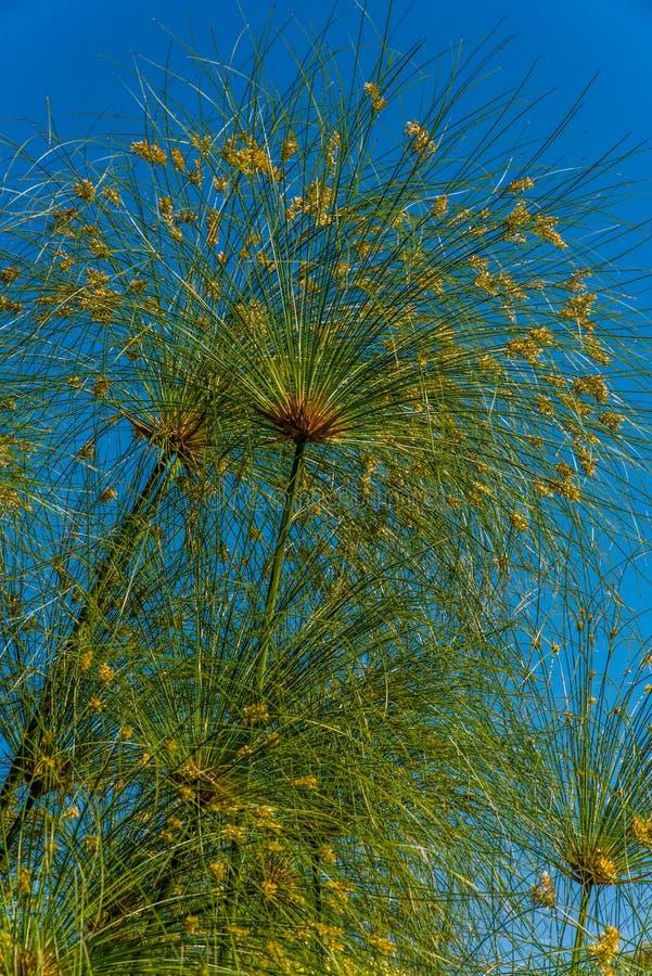 watercolor ύφους φυτών παπύρων απεικόνισης cyperus στοκ εικόνα