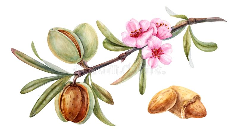 Watercolor almond branch. With flower stock illustration