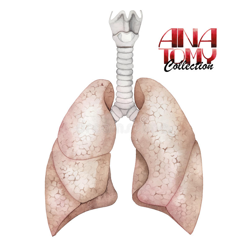 Watercolor anatomy collection - lungs vector illustration