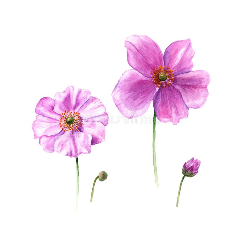 Watercolor anemone flowers and buds. Hand drawn single flower on white background. Botany illustration. Watercolor anemone flowers and buds. Hand drawn single vector illustration