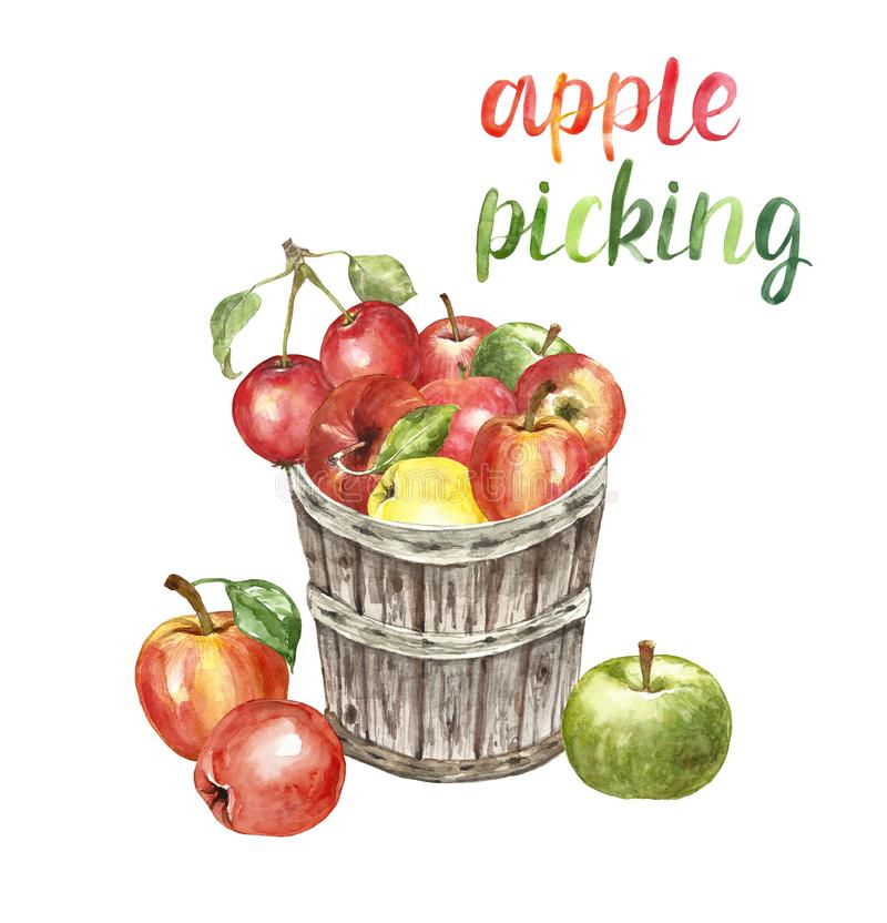 Free Watercolor Apple Picking Illustration. Autumn Harvest Illustration With Fresh Red Apples In A Wooden Basket, Isolated Stock Photo - 157603270