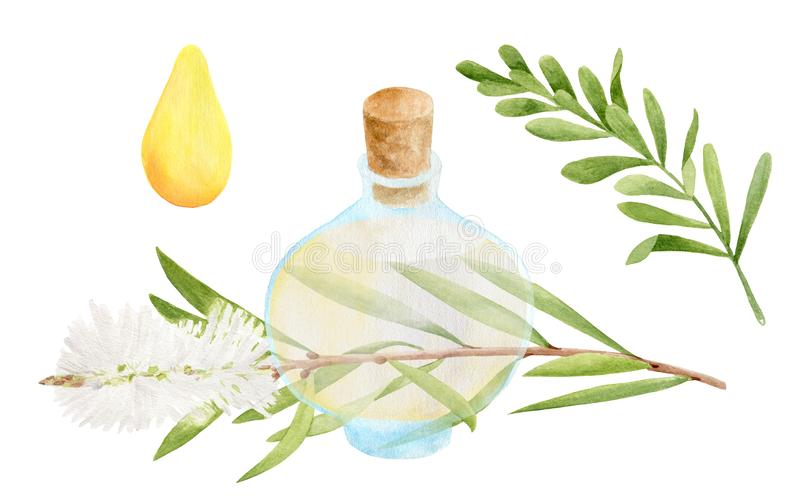 Watercolor aromatherapy set. Glass bottle full of yellow essential oil and green melaleuca tea tree branch. Hand drawn botanical stock illustration