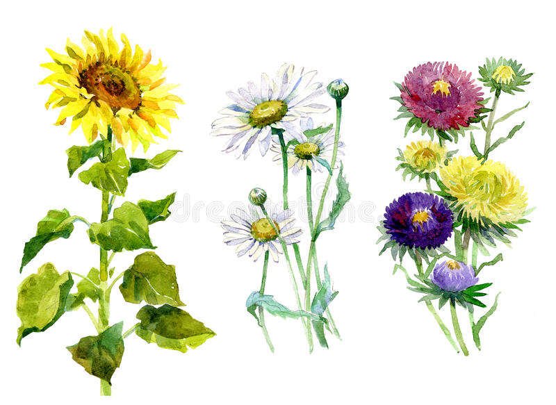 Watercolor aster, chrysanthemum, sunflower, chamomile bouquet vector illustration