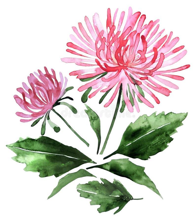 Watercolor aster set vector illustration
