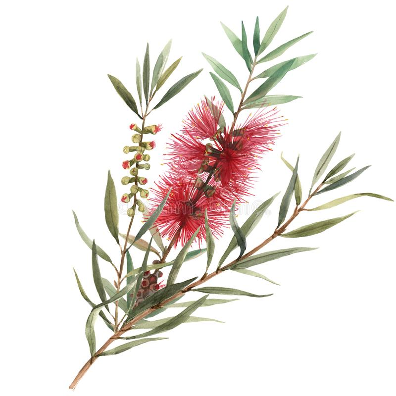 Watercolor australian callistemon illustration vector illustration