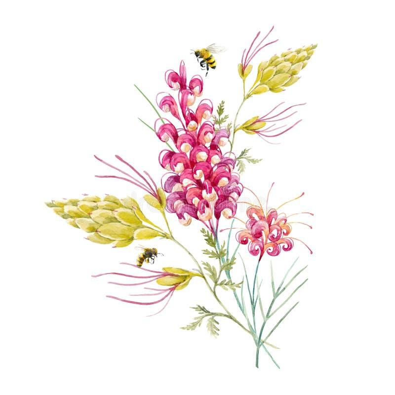 Watercolor australian grevillea flower royalty free illustration