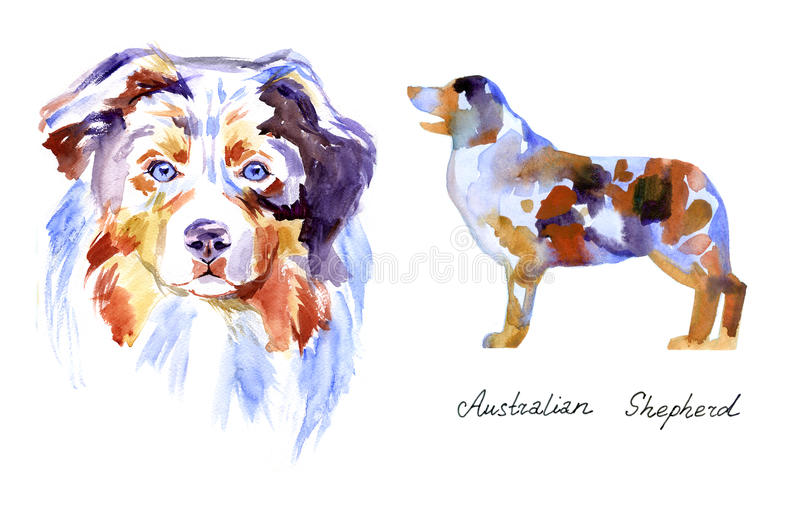 Watercolor Australian shepherd. Dog on white background stock illustration