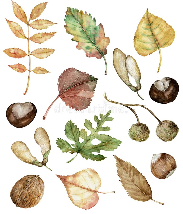 Free Watercolor Autumn Set Of Hazel-nuts, Chestnut, Maple Seeds, Planetree Seed Pods, Oak, Birch, Poplar, And Ash Leaves. Stock Photography - 158886732