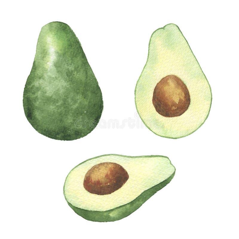 Watercolor avocado. Hand drawn illustration on white background. Hand drawn watercolor avocado illustration vector illustration