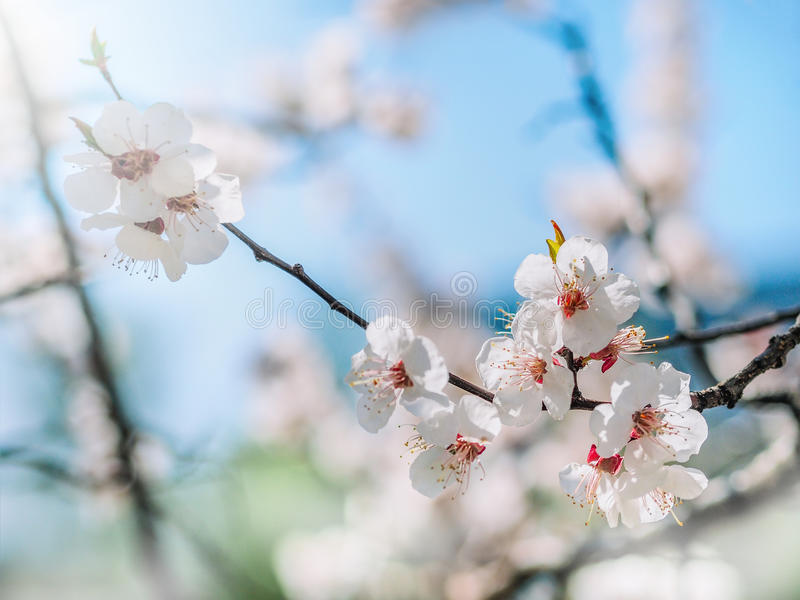 Watercolor background. Blooming tree branches with white flowers, blue sky. White sharp and defocused flowers blooming tree. Tenderness watercolor background royalty free stock images
