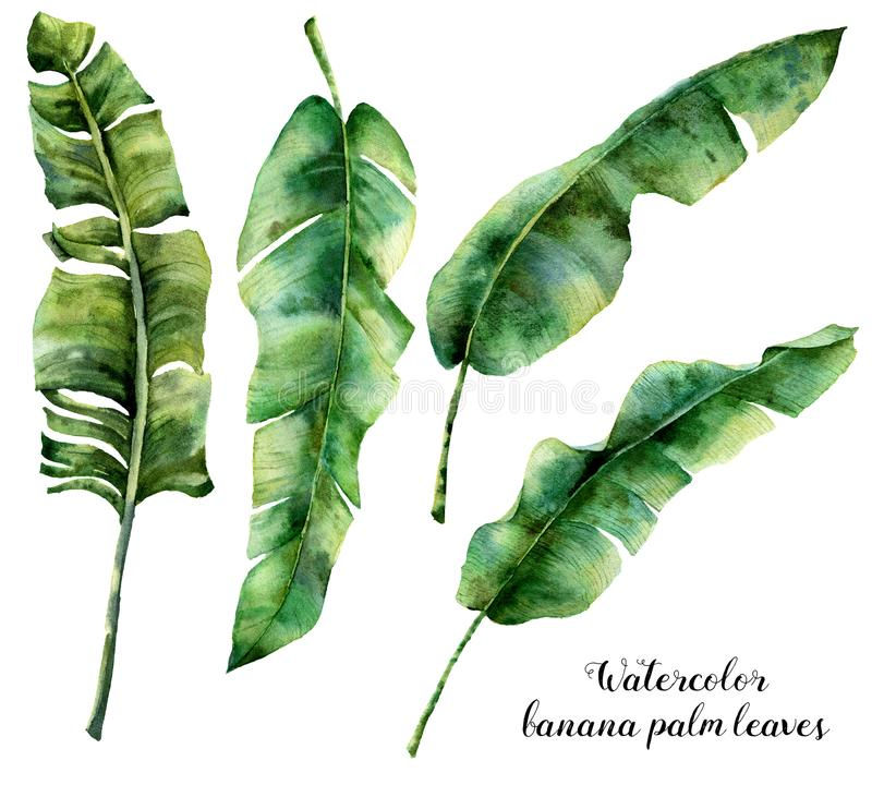 Watercolor banana palm leaves set. Hand painted botanical illustration with palm branches isolated on white background. Exotic leaves for design or print vector illustration