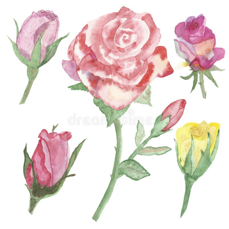Watercolor banner, lush lovely roses isolated on white background. Hand painted for happy Valentine`s Day. Congratulations to clos. E people royalty free illustration
