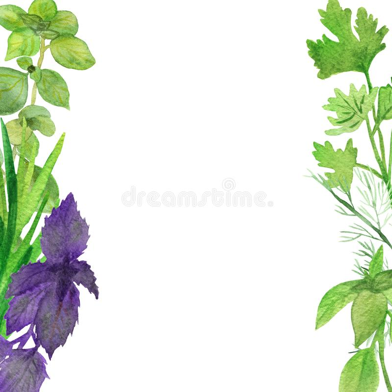 Watercolor banner of spicy plants. Green seasoning plants isolated on white background. Spicy herbs: Basil, coriander, rosemary,. Parsley, marjoram, for a stock illustration