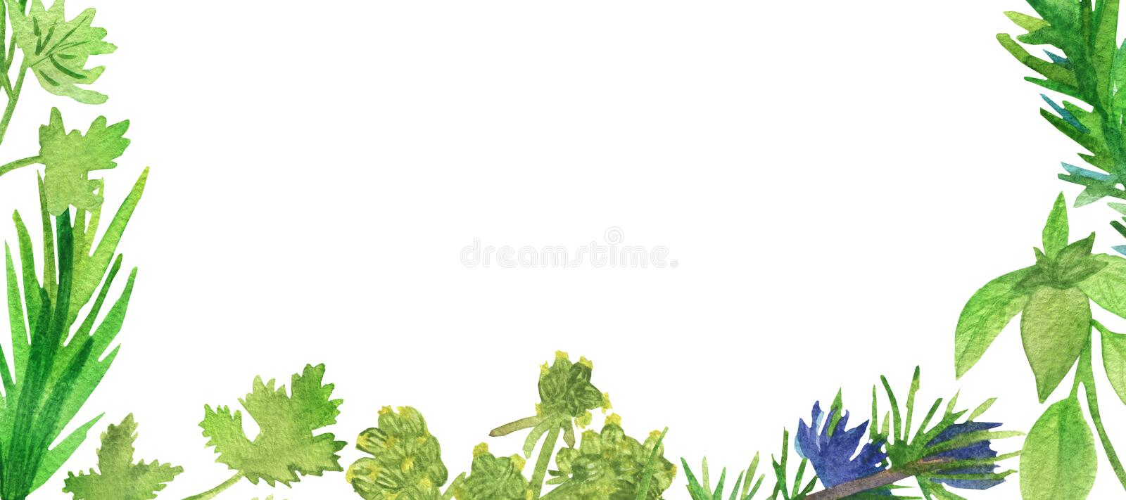 Watercolor banner of spicy plants. Green seasoning plants isolated on white background. Spicy herbs: coriander, rosemary, parsley. Marjoram, for beautiful royalty free illustration