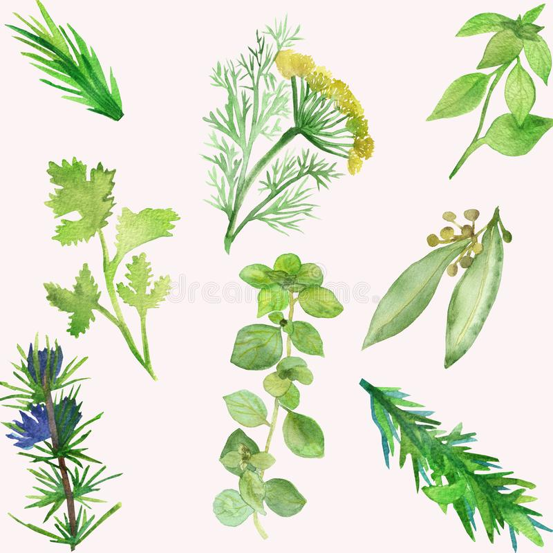 Watercolor banner of spicy plants. Green seasoning plants isolated on white background. Spicy herbs: coriander, rosemary, parsley. Marjoram, for beautiful vector illustration