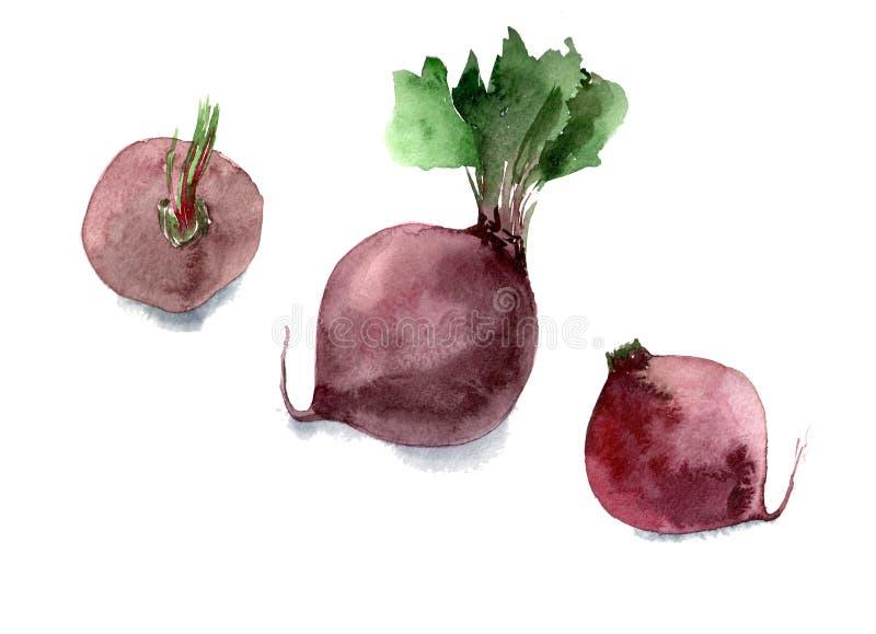 Watercolor beet. Hand drawn illustration isolated on white background. Watercolor beet. Hand drawn illustration on white background stock illustration