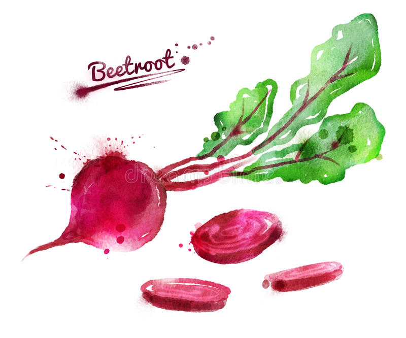 Watercolor beetroot vector illustration