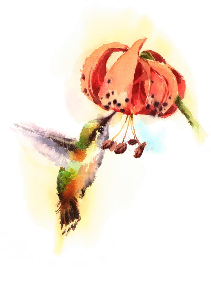 Watercolor Bird Hummingbird Drinking Nectar out of Tiger Lily Flower Hand Drawn Summer Garden Illustration isolated on white backg vector illustration