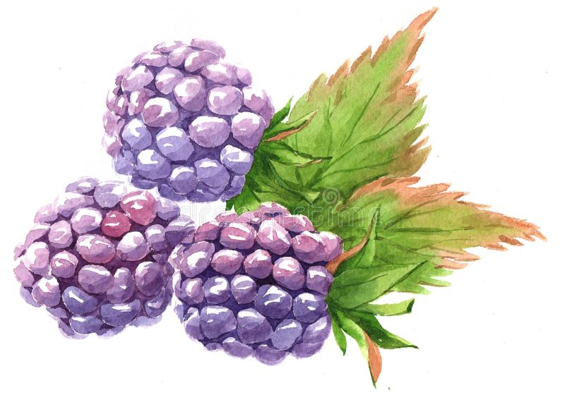Watercolor blackberry food isolated stock illustration