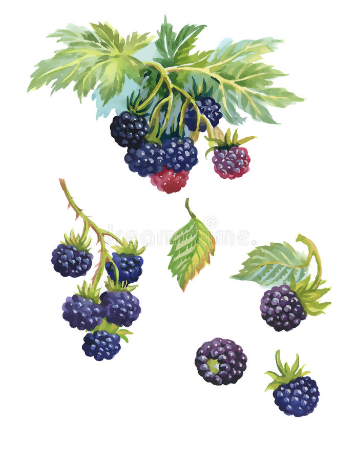 Watercolor blackberry on white background.  royalty free illustration