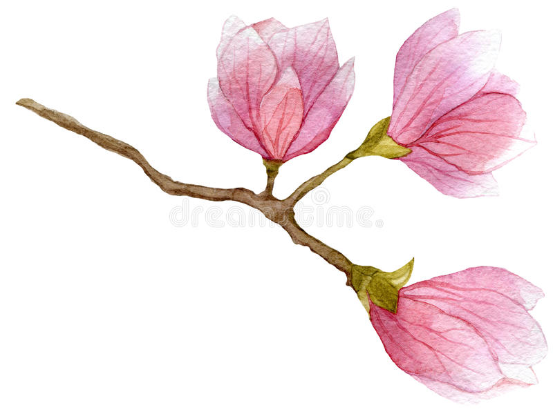 Watercolor blooming branch of magnolia tree with three flowers. hand drawn botanical illustration. vector illustration