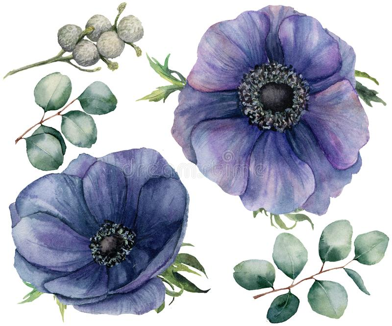 Watercolor blue anemone and brunia berry set. Hand painted isolated violet flowers with eucalyptus leaves on white. Background. Illustration for design, fabric royalty free illustration