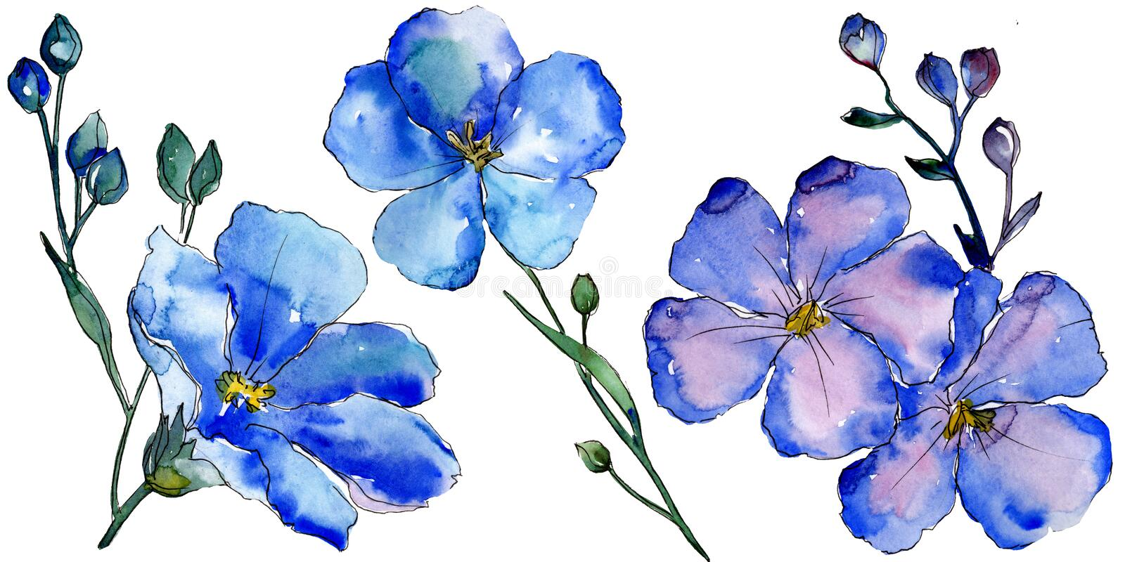 Watercolor blue flax flowers. Floral botanical flower. Isolated illustration element. vector illustration
