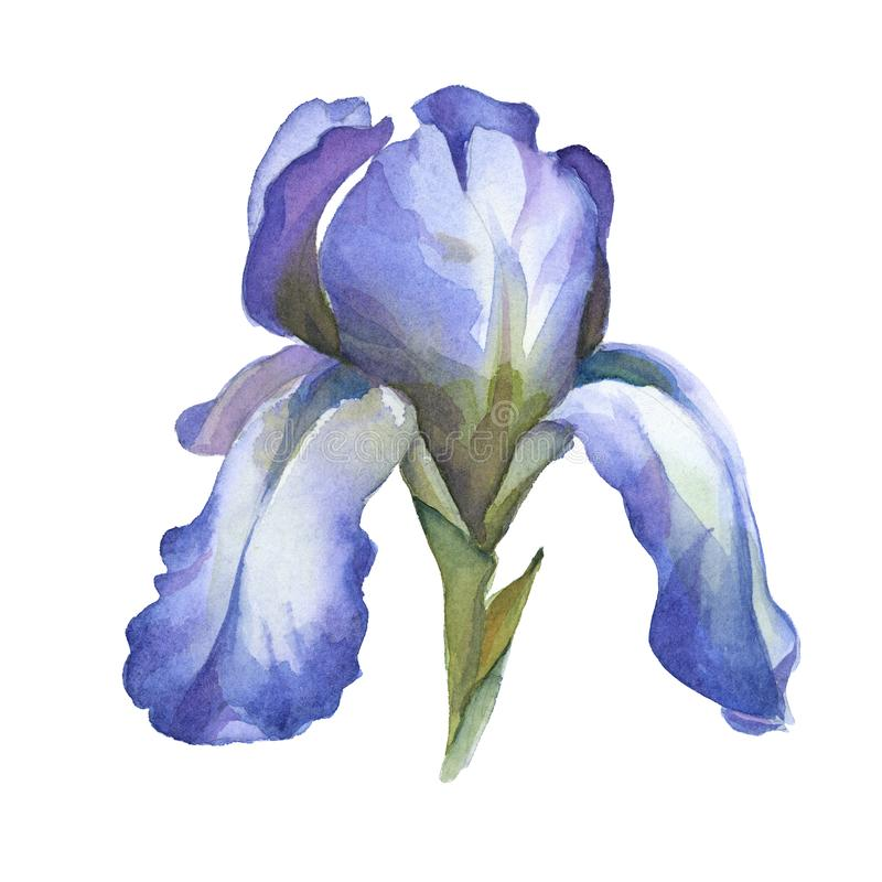 Watercolor blue iris flower isolted on white background. For card vector illustration